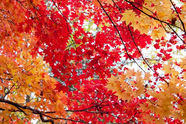 夕張の紅葉4(滝の上公園)