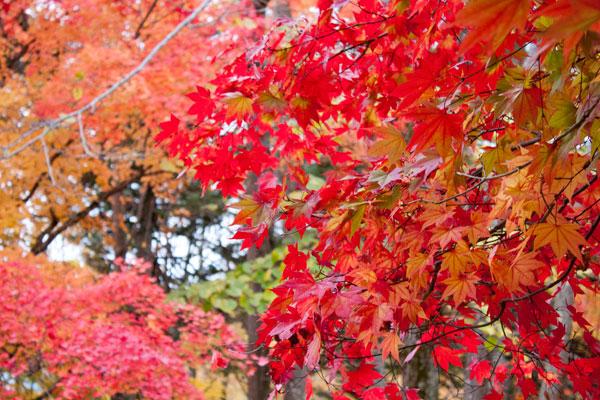 夕張の紅葉2(滝の上公園)