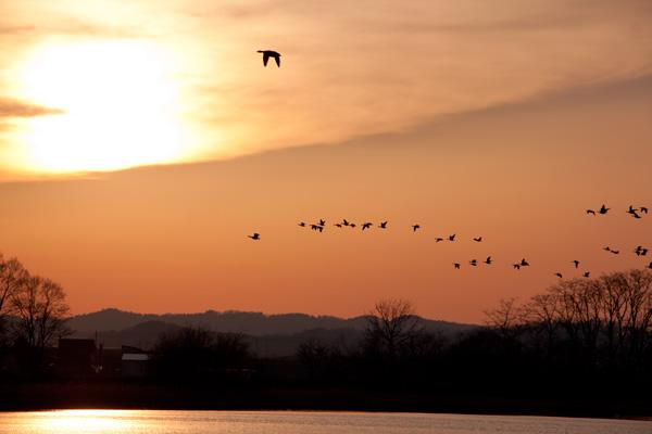 夕陽を背景にマガンの群れが少しずつ帰ってきます(北海道美唄市宮島沼にて)