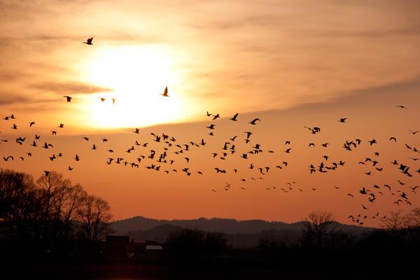 夕陽を背景にマガンの群れ(北海道美唄市宮島沼)