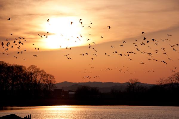 夕陽とマガンの群れ(北海道美唄市宮島沼)