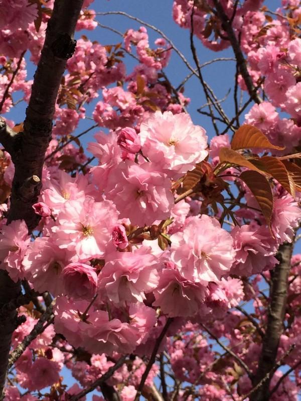 小樽で咲いていたエゾヤマザクラ